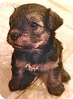 Terrier (Unknown Type, Medium) Mix Puppy for adoption in Sunnyvale, California - Jess