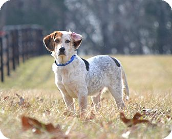 Basset Hound/Catahoula Leopard Dog Mix Dog for adoption in Chattanooga, Tennessee - Harvey
