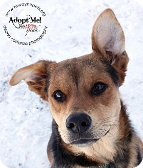Shepherd (Unknown Type) Mix Dog for adoption in Lyons, New York - Rue