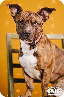 Corgi/Pit Bull Terrier Mix Dog for adoption in Portland, Oregon - Cruizer