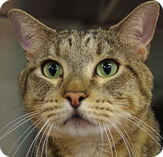 Domestic Shorthair Cat for adoption in Daytona Beach, Florida - Scarface