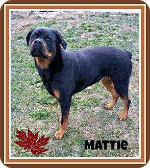 Rottweiler Dog for adoption in New Richmond,, Wisconsin - Mattie