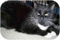 Domestic Shorthair Cat for adoption in Honesdale, Pennsylvania - Laurel