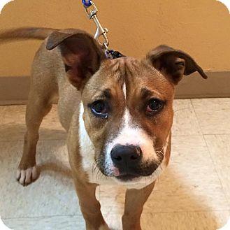 Bulldog/American Staffordshire Terrier Mix Puppy for adoption in Woodward, Oklahoma - Gustavo