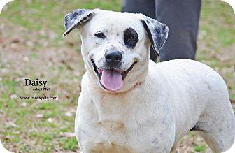 Cattle Dog/Bulldog Mix Dog for adoption in Danielsville, Georgia - Daisy