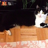 Domestic Mediumhair Cat for adoption in New York, New York - Faith