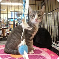 Domestic Shorthair Kitten for adoption in Houston, Texas - Mickey (Mouse)