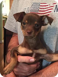 Chihuahua Mix Puppy for adoption in Scottsdale, Arizona - Rolo
