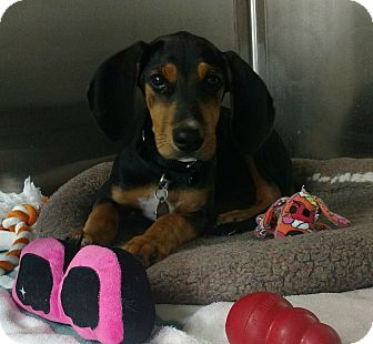 Black and Tan Coonhound Puppy for adoption in Oak Park, Illinois - Greta