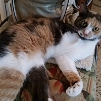 Domestic Shorthair Cat for adoption in Tampa, Florida - Tessa