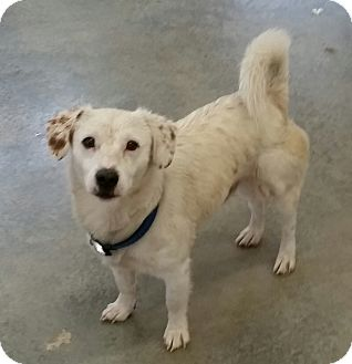 Jack Russell Terrier Mix Dog for adoption in Urbana, Ohio - Simon