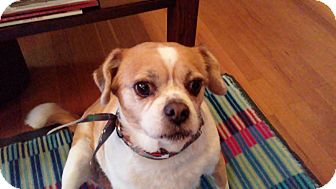 Pug/Terrier (Unknown Type, Small) Mix Dog for adoption in Sharonville, Ohio - Sadie