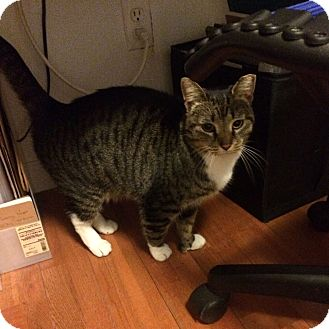 Domestic Shorthair Cat for adoption in Brooklyn, New York - Pat*
