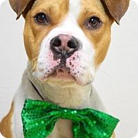 Adopt A Pet :: Donner - Dublin, CA