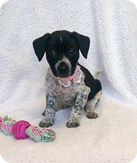 Australian Cattle Dog Mix Puppy for adoption in Elkton, Maryland - Telia