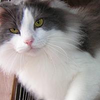 Adopt A Pet :: Bolyn - Normandy, TN