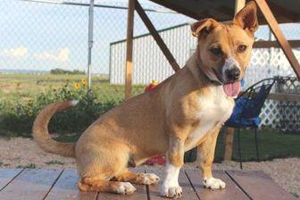 Pembroke Welsh Corgi Mix Dog for adoption in Colorado Springs, Colorado - Kalahan