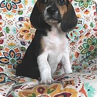 Adopt A Pet :: Vera - Russellville, KY
