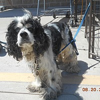 Cocker Spaniel Dog for adoption in haslet, Texas - bandit