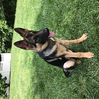 German Shepherd Dog Dog for adoption in Morrisville, North Carolina - Amelia
