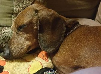 Dachshund Dog for adoption in Humble, Texas - Peppers