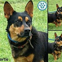 Adopt A Pet :: Shortie - Kimberton, PA