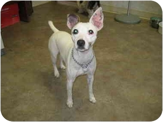 Jack Russell Terrier Dog for adoption in Rock Springs, Wyoming - Quincy