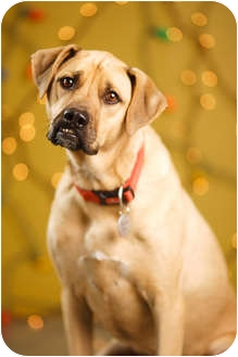 Black Mouth Cur Dog for adoption in Portland, Oregon - Dew