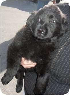 Labrador Retriever/Newfoundland Mix Puppy for adoption in Greeley, Colorado - Bear