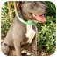 Photo 3 - American Pit Bull Terrier Dog for adoption in Mission Viejo, California - Sammy