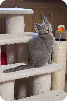 Domestic Shorthair Kitten for adoption in Grand Rapids, Michigan - Arkham