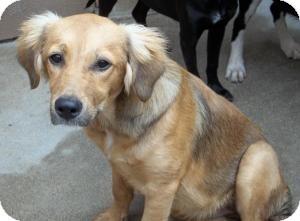 Spaniel (Unknown Type)/Border Collie Mix Dog for adoption in Gaffney, South Carolina - Lizbin
