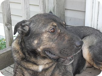 Shar Pei/Shepherd (Unknown Type) Mix Dog for adoption in Newport, Vermont - Tippi