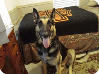 German Shepherd Dog Dog for adoption in Green Cove Springs, Florida - Gracey