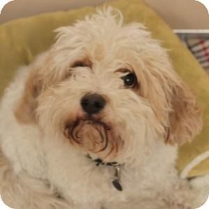 Bichon Frise/Cavalier King Charles Spaniel Mix Dog for adoption in Naperville, Illinois - Jasper
