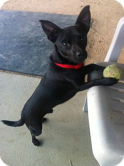 Miniature Pinscher/Chihuahua Mix Dog for adoption in Los Angeles, California - Hunter