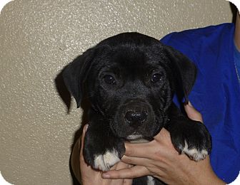 Mastiff/American Bulldog Mix Puppy for adoption in Oviedo, Florida - Spitfire