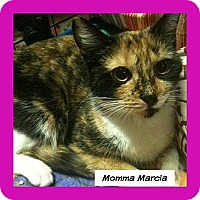 American Shorthair Cat for adoption in New York, New York - Marcia