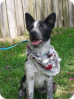 Blue Heeler Mix Puppy for adoption in Groton, Massachusetts - Addison