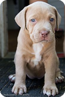 American Staffordshire Terrier/Labrador Retriever Mix Puppy for adoption in Valley Village, California - Lola