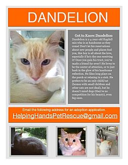 Ragdoll Cat for adoption in Gainesville, Florida - Dandelion