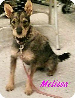 Schnauzer (Miniature)/Silky Terrier Mix Dog for adoption in House Springs, Missouri - Melissa