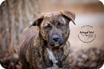 Mastiff Mix Dog for adoption in Warsaw, Indiana - Jack
