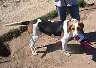Treeing Walker Coonhound Dog for adoption in Seguin, Texas - Repo