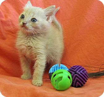 Domestic Shorthair Kitten for adoption in Port St. Joe, Florida - Tonya