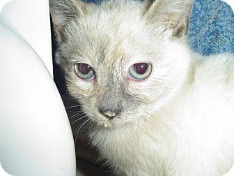Siamese Kitten for adoption in Lenexa, Kansas - Allyssa