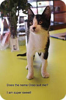 Domestic Shorthair Kitten for adoption in New Orleans, Louisiana - Domino