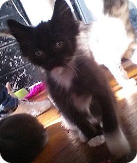 Domestic Mediumhair Kitten for adoption in Saint Clair Shores, Michigan - Shock