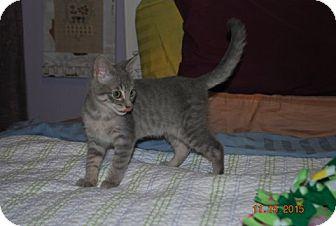 Domestic Shorthair Kitten for adoption in Bentonville, Arkansas - Dorothy