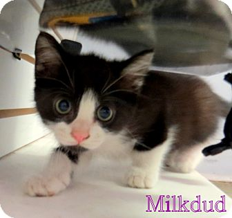 Domestic Shorthair Kitten for adoption in Georgetown, South Carolina - Milk Dud